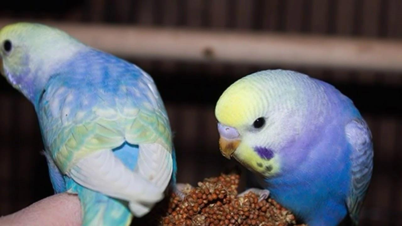 картинки редких попугаев волнистых сазерленд- самые