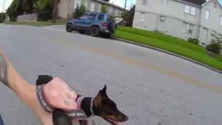 Biking With Doberman Pinscher