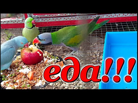 Видео: Правильное питание попугаев - залог их здоровья!!