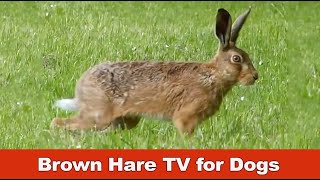 TV for Dogs - Brown Hare