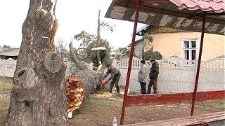 У Коломиї, поблизу автобусної зупинки, впала реліктова сосна(У Коломиї впало дерево. Реліктова сосна, віком кілька сотень років, з гуркотом завалила огорожу та впала..., 2014-01-10T12:40:49.000Z)
