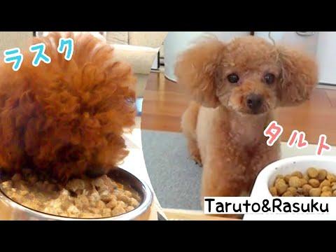 久��り���ん動画☆Taru�ゃん我慢���・・。トイプードル�Taruto&Rasuku
