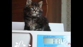 ЛИРИКУМ Эксперт Туз  обаятельный крупный котик мейн-кун 1,5 мес