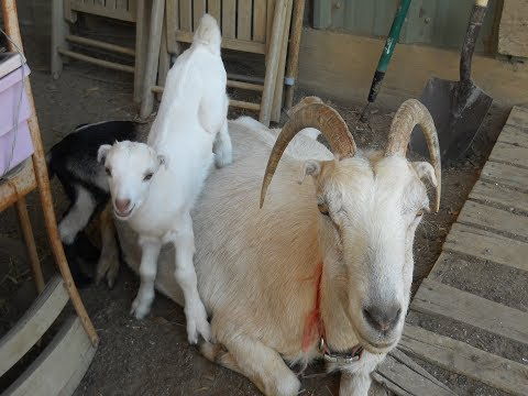 Providence's Perpetuation Provisions: 2017 Goat Kids