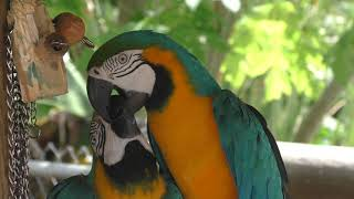 Parrots playing