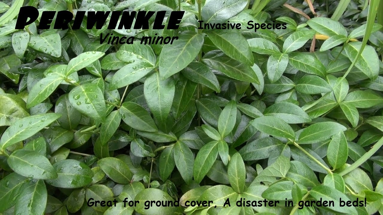 Periwinkle Vinca Minor Makes A Great Ground Cover But Can Be