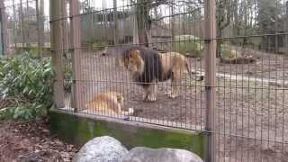 """Лев и львица или """"отстань, у меня голова болит""""/ lion and lioness find out the relationship"""