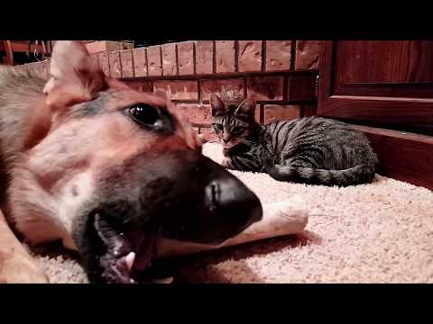 Kitten and German Shepherd Playing | Dog Gives Toy to Kitty | GSD Fun