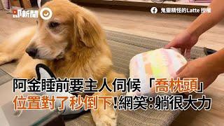 黃金獵犬睡前要狗主人伺候調整枕頭 位置對了 立刻倒下|寵物