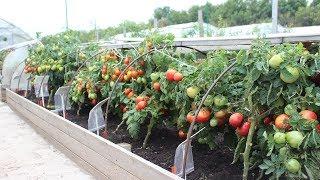 Если томаты жируют, что делать