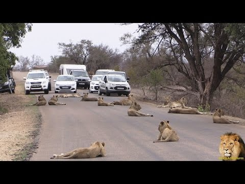 Largest Lion Pride Ever Blocking Road In Kruger Park
