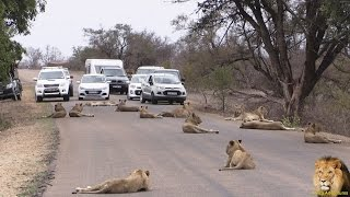 Largest Lion Pride Ever Blocking Road In Kruger Park thumbnail