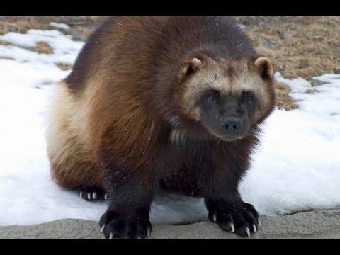 Росомаха - Wolverine (Энциклопедия животных)