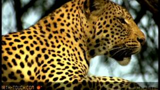 Animals in Africa and around the World Part 1: Lions Tigers Panthers(by Valo Melkonyan)