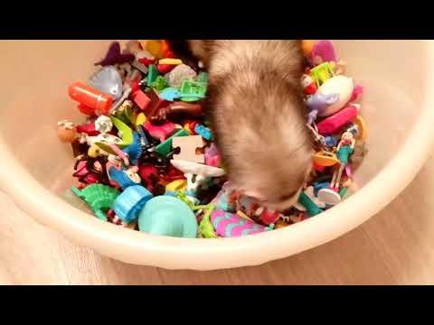 Хорек и резиновые игрушки (ferret)