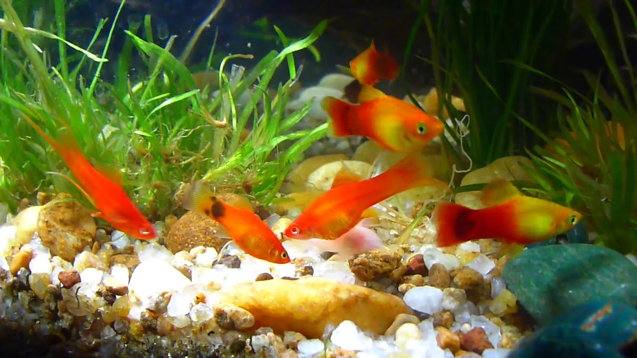 Best tropical community aquarium 2015 hd youtube for Good community fish