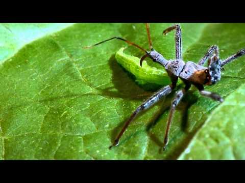 Wheel bug (assassin bug) vs. green cloverworm caterpillar