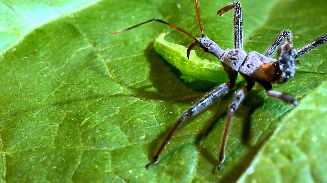 Insect - Xoanodera maculata - China - 20-25mm...!! | eBay  |Insecta Insects