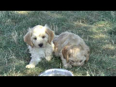 Cockapoo Puppies for Sale from www.dyerfarms.com