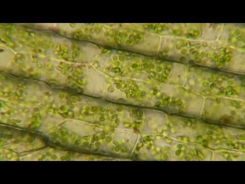 Plasmolysis in Elodea - YouTube
