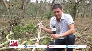 Bình Phước: Người trồng điều bất lực với sâu bệnh | VTV24