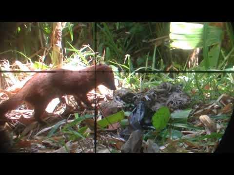 BERBURU GARANGAN - pest control - SHOOTER ERWINDELON