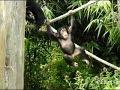Raw: Edinburgh Zoo Shows of 2-Year-Old Chimp