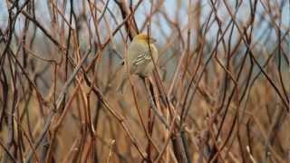 ギンザンマシコ Pine Grosbeak