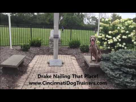Weimaraner Drake's 2 Week Transformation at Cincinnati Dog Trainers Off Leash K9