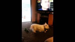 Cooper The Westie Watching Tv