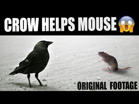 No, that crow is not sharing with a mouse |