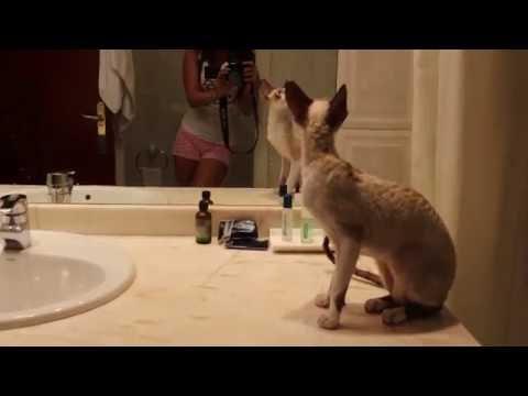 Katze Cornish Rex, wir bereiten uns für Katzenausstellung