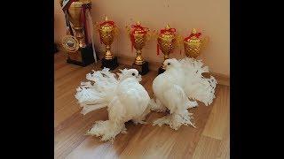 Декоративные статные голуби в Болгарии / Stately pigeons ( Svetli Krastev , Vraca, Болгария )