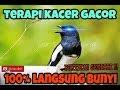Cara Membuat Kacer Gacor Ngobra Suara Burung Kacer Terapi  Mp3 - Mp4 Download