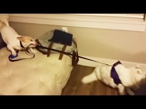 DOG FAILS ★ Dog Fails 2016 (NEW) (HD) [Funny Pets]