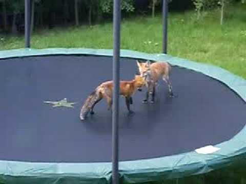 Foxes Jumping on my Trampoline