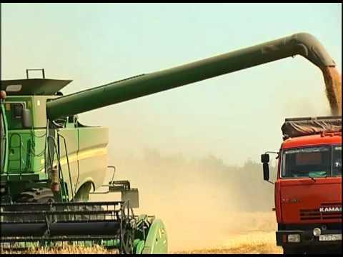 Озимая пшеница -