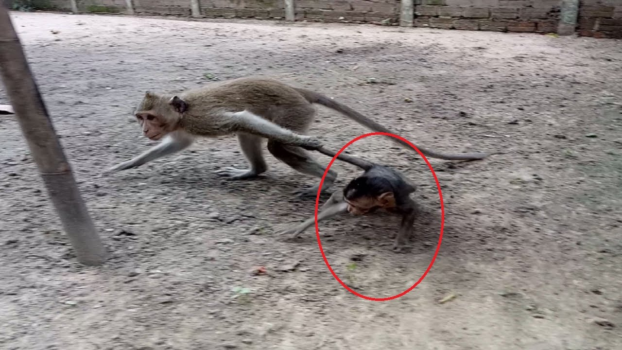 Why Monkey Drag Baby's Tail ?ST573 Mono Monkey - YouTube