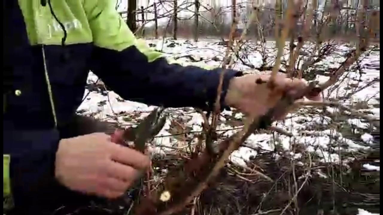 обрезка винограда перед укрытием на зиму видео