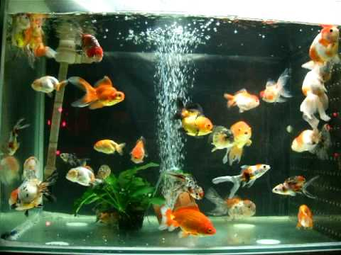 All In One Goldfish Tank Youtube