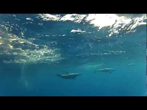 Dolphins at Kwajalein Atoll, Marshall Islands