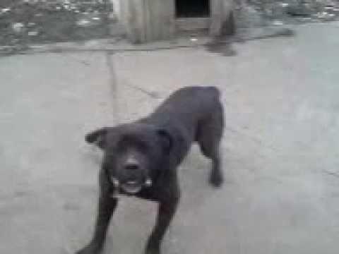 bandog AS mix rott X dogo argentino - YouTube