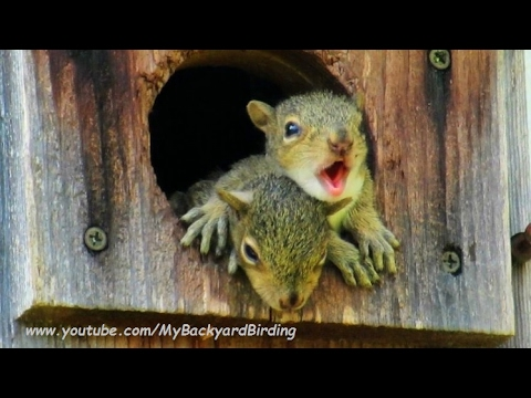 Baby Squirrels Calling Missing Mom -  A Documentary