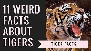 Tiger Facts and Information | Interesting Facts About Tigers