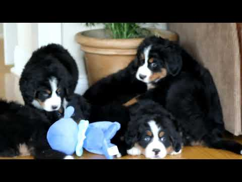 Bernese Mountain Dog Puppies For Sale Joe and Annie Smucker