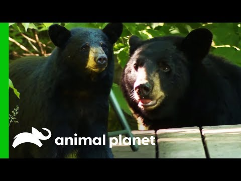Tackling A Bear Feeding Problem At A New Hampshire Home | North Woods Law