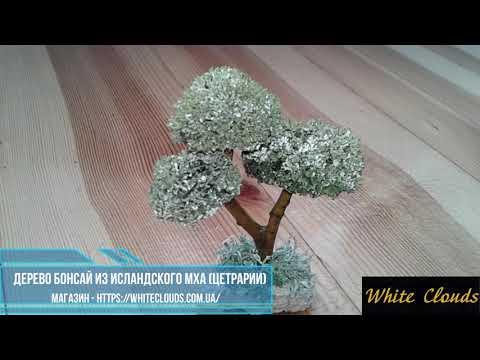 Дерево БОНСАЙ из ИСЛАНДСКОГО МХА ЦЕТРАРИИ