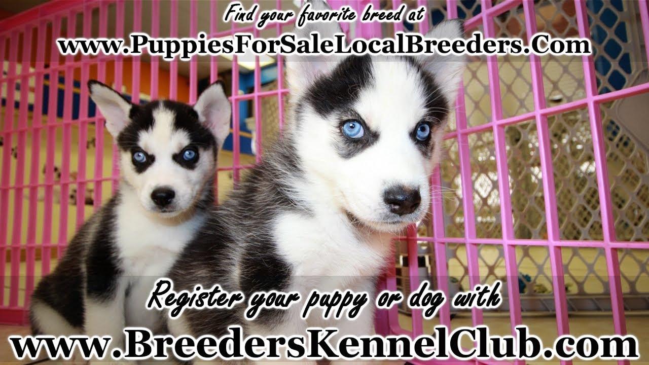 Siberian Husky Puppies For Sale Georgia Local Breeders Near