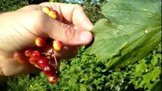 Viburnum Opulus: Fake Cranberry, Do Not Eat