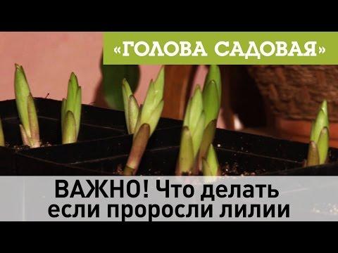 Голова садовая - ВАЖНО! Что делать если проросли лилии